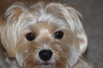 3 year old Leivi: Dog daze 1--Photo Pincher