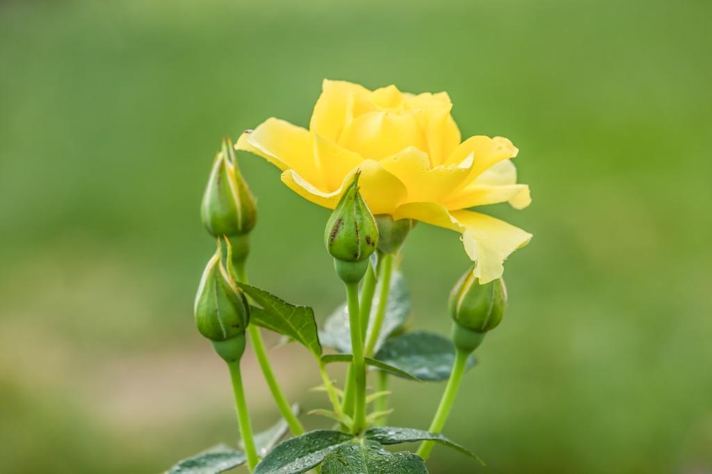 rosebud1
