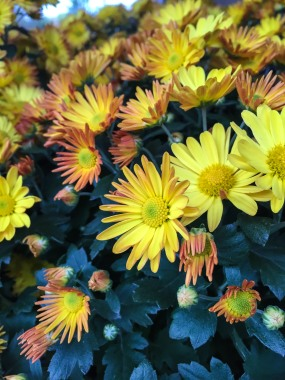 fall-flower-0115