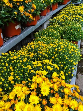 fall-flower-0116