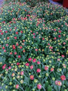 fall-flower-0117