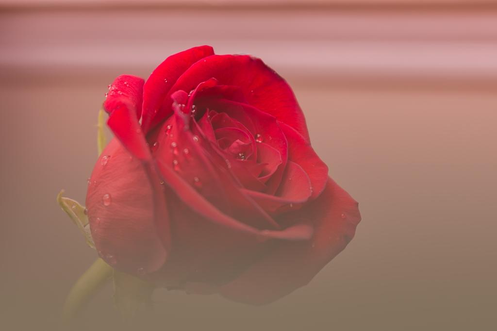 Redrose-2